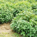 Minyak Asiri Indonesia Mendunia