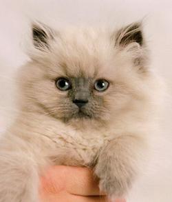 kucing-super-kecil