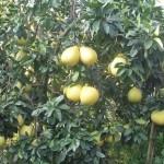 Jeruk Besar Dan Manis Pakai Limbah