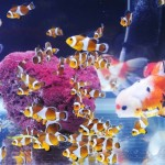 Nemo Dan Maskoki Di Satu Akuarium