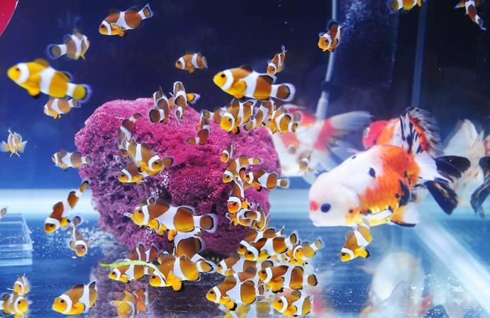 Nemo Dan Maskoki Di Satu Akuarium Bebeja Com