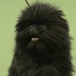 Anjing Juara Amerika 2013
