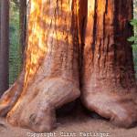 Pohon Paling Tinggi Sedunia