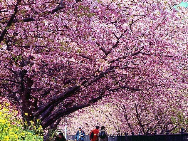 sakura-flower-festival