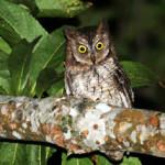 Celepuk Rinjani, Jenis Baru Dan Endemik Lombok