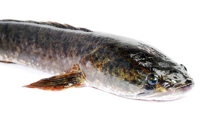 ikan-gabus