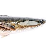 5 Penyakit Berat Dan Albumin Ikan Gabus