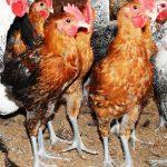 Manajemen Pakan Ayam Elba