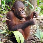 Riset Malaria Pada Orangutan