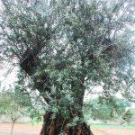 Pohon Zaitun Lambang Perdamaian