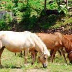 Susu Kuda Liar Terbaik Kecamatan Donggo