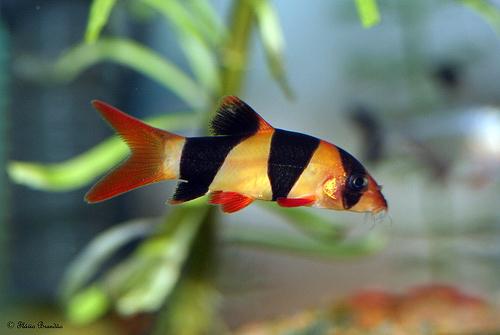 ikan-botia