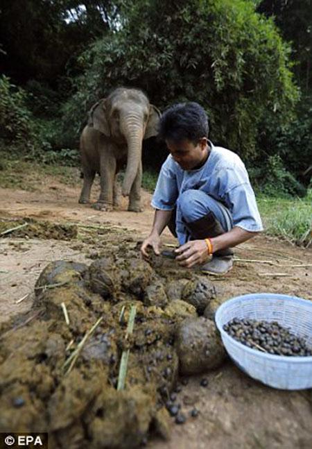 kotoran-gajah-kopi