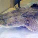 Pasar Butuh Ikan Betutu