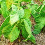 Pestisida Nabati Untuk Greenhouse
