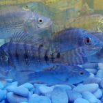 Kombinasi Cabai Dan Ikan Nila