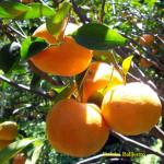 Agribisnis Jeruk Keprok Di Indonesia