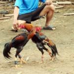 Kebumen Sentra Ayam Bangkok