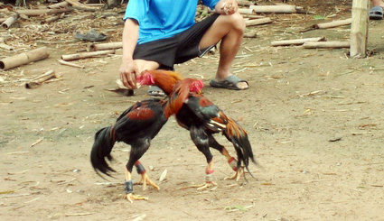 ayam-bangkok