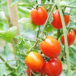 Kaum Pria Makanlah Tomat