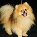 Rumus Kawinkan Pomeranian