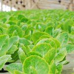 Sayuran Hidroponik Sehat?