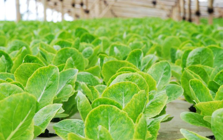 Sehatkah Sayuran Hidroponik Bebeja Com