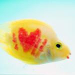 Ikan Parrot I Love U