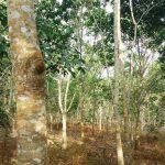 Atasi Penyakit Akar Putih Pohon Karet