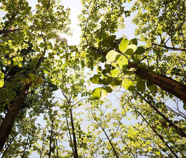pohon-jati