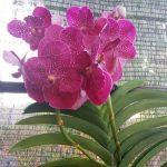 Rangsang Anggrek Phalaenopsis