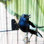 Percepat Masa Mabung Burung Kicauan
