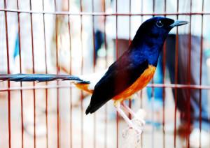 kontes-burung1