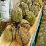 Kulit Durian Pengurai Limbah Oli