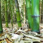 Bambu Undang Mikroba