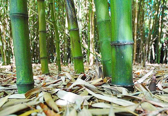 bambu-daun