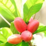 Miracle Fruit Calon Pemanis Buatan