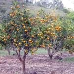 Jeruk Keprok Soe Nusa Tenggara Timur