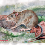 Tikus Duri Boki Mekot Dan Elang Flores