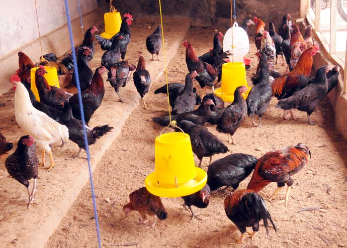 vitamin untuk ayam petarung