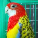 Ada Gengsi Di Burung Paruh Bengkok