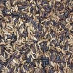 Maggot Pakan Alami Ikan Protein Tinggi