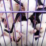 Bisnis Untung Tikus Putih?