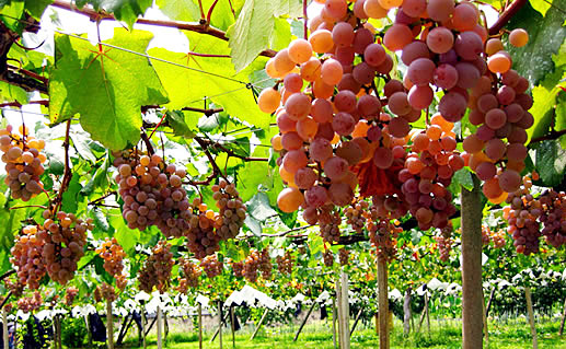 anggur-jepang2