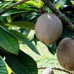 6 Tips Cangkok Mamey Sapote