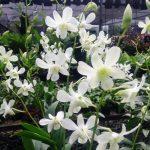 Ramu Pupuk Anggrek Dendrobium