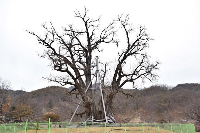 pohon ginkgo