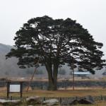 Cara Korea Lestarikan Pohon Tua