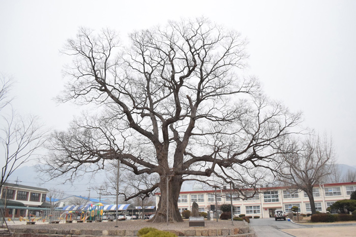 pohon zelkova