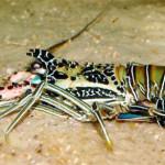 Budidaya Lobster Laut Di Kolam Semen